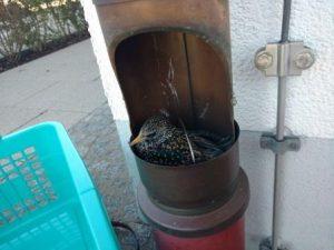 Am Feuerwehrhaus Dornach steckte ein Star im Fallrohr der Regenrinne fest